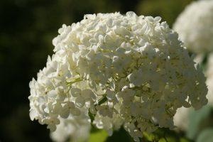 Annabelle snoeien bloem