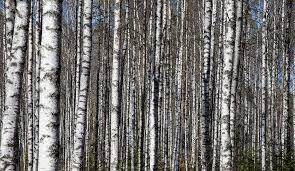 Berk snoeien bomen