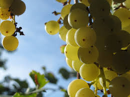 Druiven snoeien druiventros
