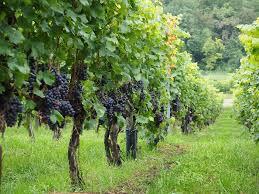 druivengaard