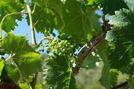 druivenboom dieven
