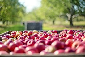 Appelboom knippen