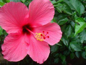 Hibiscusplant