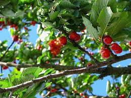 Een kersenboom snoeien